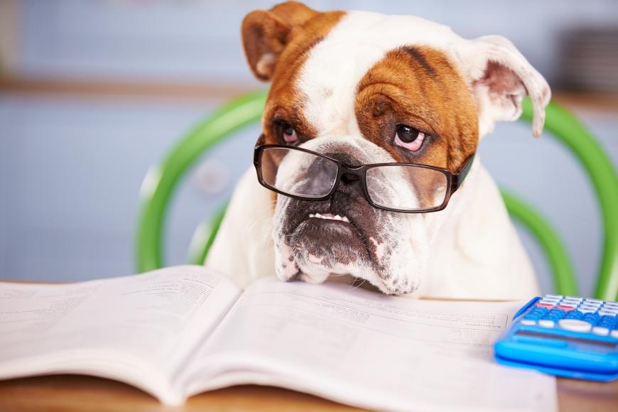 Sad Looking British Bulldog Pretending To Be Businessman